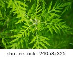 Ragweed Ambrosia Artemisiifolia