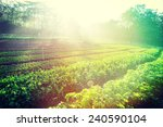 green pea and celery crops in... | Shutterstock . vector #240590104