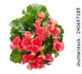 Begonia Flower Isolated On...
