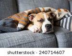 bulldog mix puppy sleeping on... | Shutterstock . vector #240714607