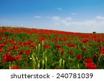 Stock photo field of corn poppy with blue sky above 240781039