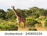 an african giraffe giraffa... | Shutterstock . vector #240850234
