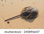 Horshoe Crab On Sandy Beach