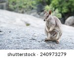 Rock Wallaby  Australia