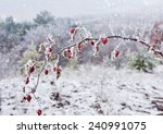 Rime Covered Branch Of Wild...