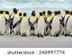Group Of King Penguins Coming...