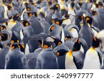 King Penguin Colony  Many Bird...
