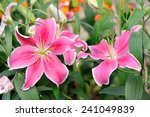 a couple of sweet lily in the... | Shutterstock . vector #241049839