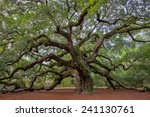 old southern live oak  quercus... | Shutterstock . vector #241130761