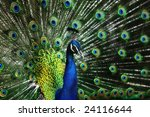 A Peacock Displays His Feathers