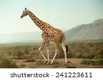 Giraffe Walking In Desert