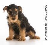 cute puppy   airedale terrier... | Shutterstock . vector #241225909