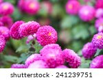 close up of pink purple flowers ... | Shutterstock . vector #241239751