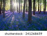 Purple Bluebell Woods In Early...