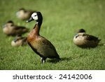 White Faced Whistling Duck Fro...