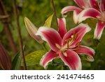 pink lilies in garden   Shutterstock . vector #241474465