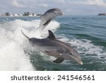 bottlenose dolphin  tursiops... | Shutterstock . vector #241546561