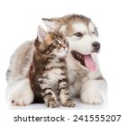 Stock photo alaskan malamute puppy hugging maine coon kitten isolated on white background 241555207