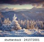 frozen small fir tree in winter ... | Shutterstock . vector #241572001