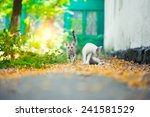close up of a street cat wild... | Shutterstock . vector #241581529