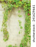 green ivy on wall  | Shutterstock . vector #241629661