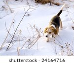 This is a Beagle Hunting a Rabbit in the snow. - stock photo