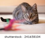 Stock photo cat stalking his feather toy on a bed at home 241658104