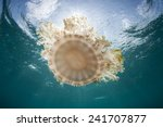 cassiopea jellyfish  also known ... | Shutterstock . vector #241707877