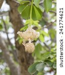 Small photo of White Baobab flower (Adansonia digitata), rainy season