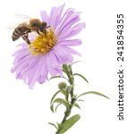 Stock photo honeybee and blue flower head isolated on a white background 241854355