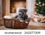 Dog Breed Cane Corso Puppy ...