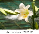This is a close-up of Easter Lillys with a fountain in the background.