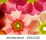 Close Up Of Primula Flower...