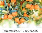 Orange Tree   Orange Farm  ...