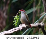 red browed finch | Shutterstock . vector #2422969