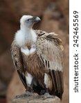 Portrait Of Griffon Vulture ...