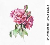 roses flower. watercolor... | Shutterstock . vector #242518315