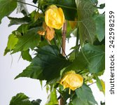 Small photo of Abutilon blooming on a white background with yellow flowers
