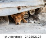 unhappy homeless dog that lives ... | Shutterstock . vector #242602129