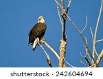 Young Bald Eagle Perched In A...