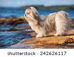Shih Tzu Dog Standing On Lake...
