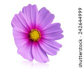 purple and pink cosmos. ... | Shutterstock . vector #242644999