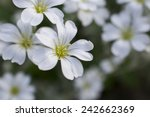 Small White Flowers With Yello...