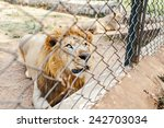 Lion In A Zoo Cage Dreams Of...