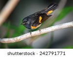 Small photo of American Redstart (adult male), Toledo, Belize