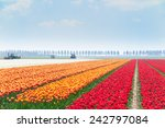 Rows Of Tulip Fields With...