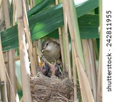 Small photo of Nest of the Great Reed Warbler (Acrocephalus arundinaceus) in the nature.