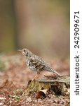 scaly thrush of japan  | Shutterstock . vector #242909671