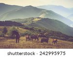 horses is grazing against... | Shutterstock . vector #242995975