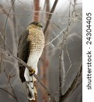 A Cooper's Hawk Perched On A...